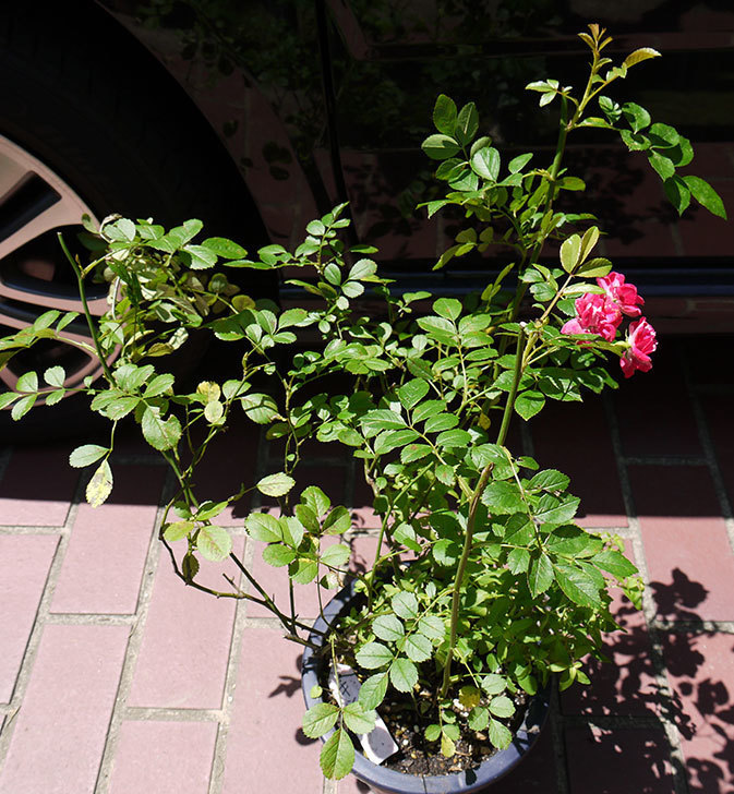 キング(バラ)の鉢植えを貰った1.jpg