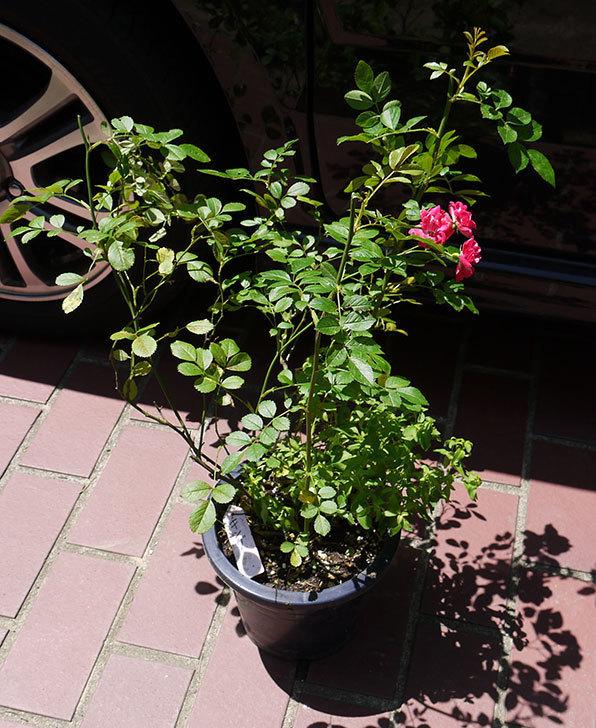 キング(バラ)の鉢植えを貰った2.jpg
