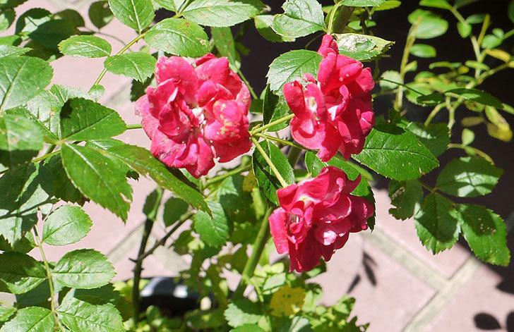 キング(バラ)の鉢植えを貰った3.jpg