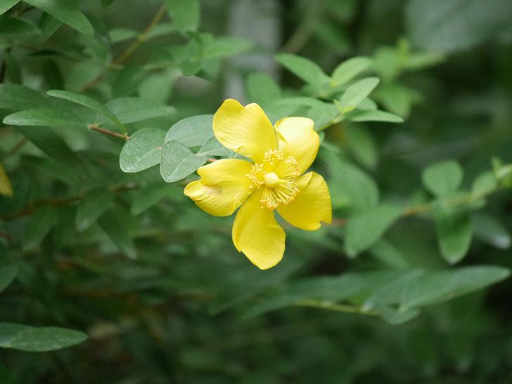 キンシバイの花が咲きだした。2020年-001.jpg