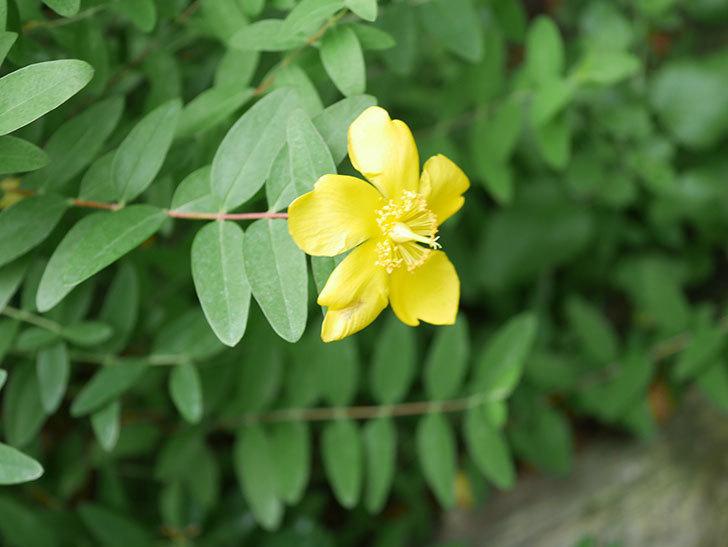 キンシバイの花が咲きだした。2020年-006.jpg