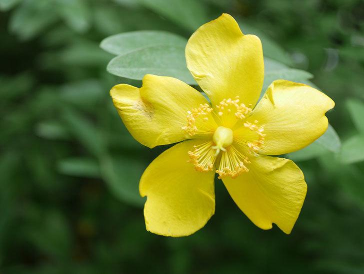 キンシバイの花が咲きだした。2020年-008.jpg