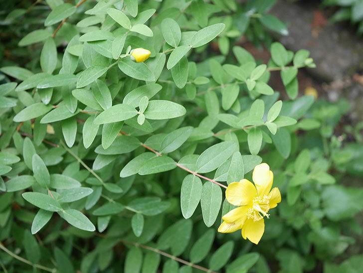 キンシバイの花が咲きだした。2020年-010.jpg