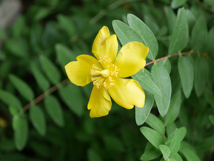 キンシバイの花が咲きだした。2020年-012.jpg