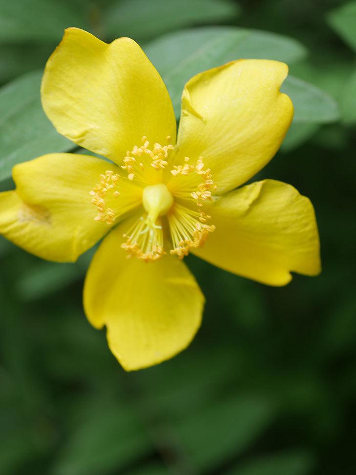 キンシバイの花が咲きだした。2020年-013.jpg