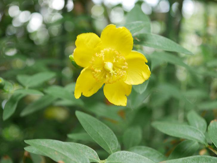 キンシバイの花が咲きだした。2021年-003.jpg