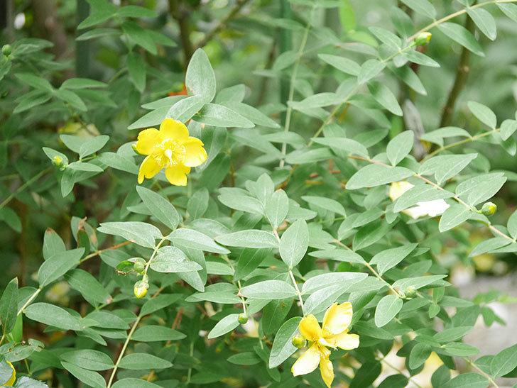 キンシバイの花が咲きだした。2021年-006.jpg