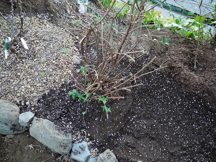 キンシバイの鉢を地植えした。2017年-10.jpg