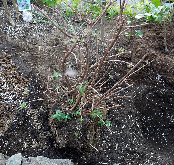 キンシバイの鉢を地植えした。2017年-9.jpg