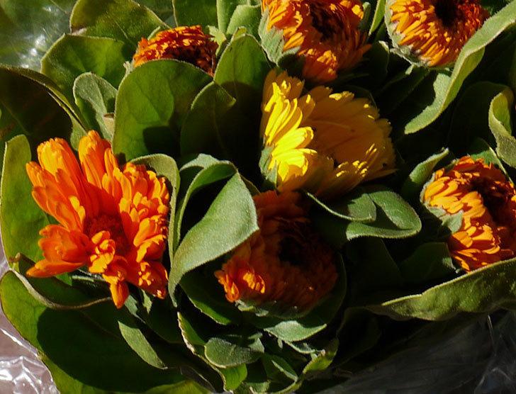キンセンカの切り花を買って来た2.jpg