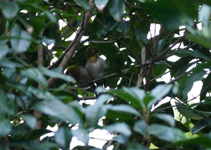 キンモクセイにメジロが2羽が来た2.jpg