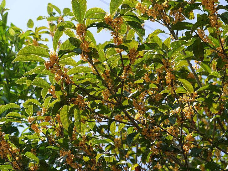キンモクセイ(金木犀)が咲いた。2014-1.jpg
