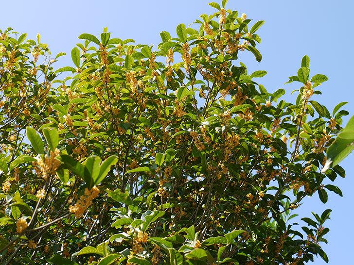 キンモクセイ(金木犀)が咲いた。2014-2.jpg