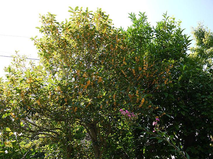 キンモクセイ(金木犀)が咲いた。2014-3.jpg