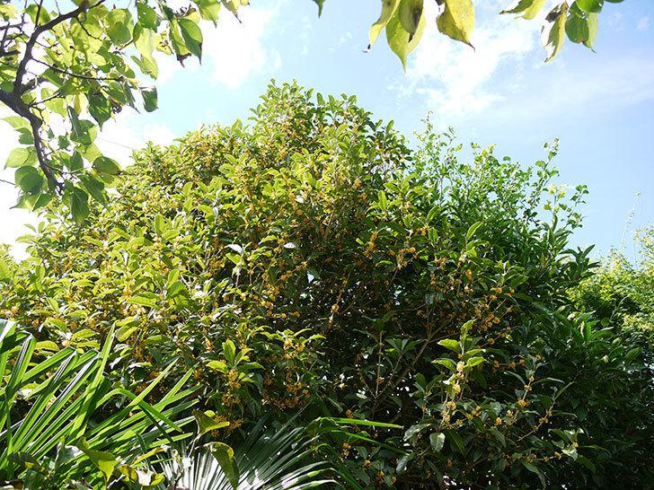 キンモクセイ(金木犀)が咲いた。2016年-2.jpg