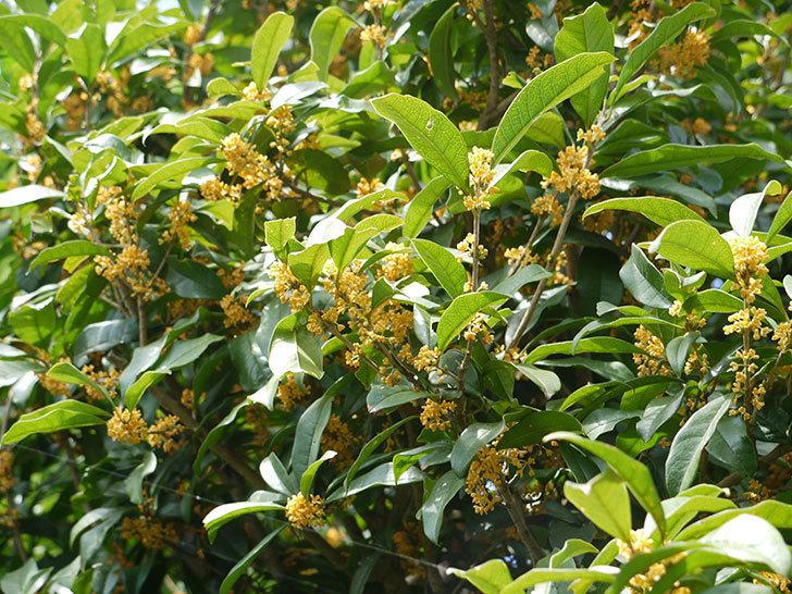 キンモクセイ(金木犀)が咲いた。2016年-5.jpg