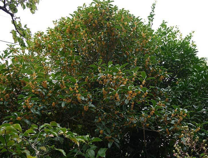 キンモクセイ(金木犀)が咲きだした。2015年-3.jpg