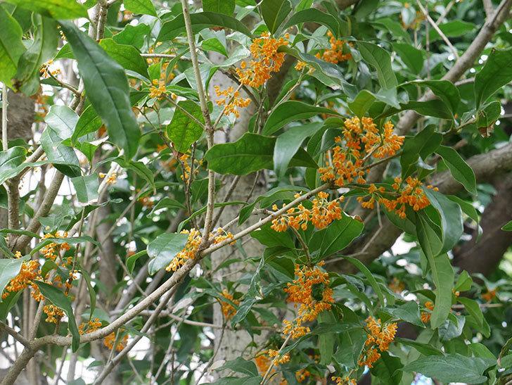 キンモクセイ(金木犀)の花が咲いた。2019年-1.jpg