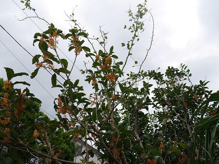 キンモクセイ(金木犀)の花が咲いた。2019年-5.jpg