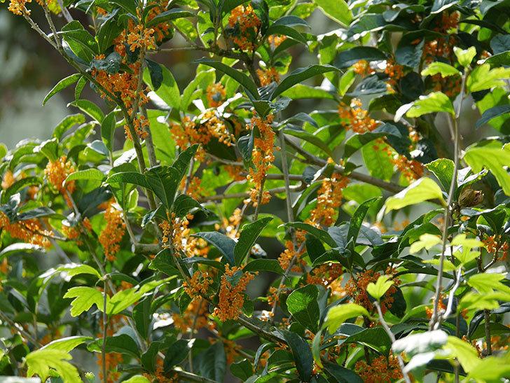 キンモクセイ(金木犀)の花が咲いた。2020年-001.jpg