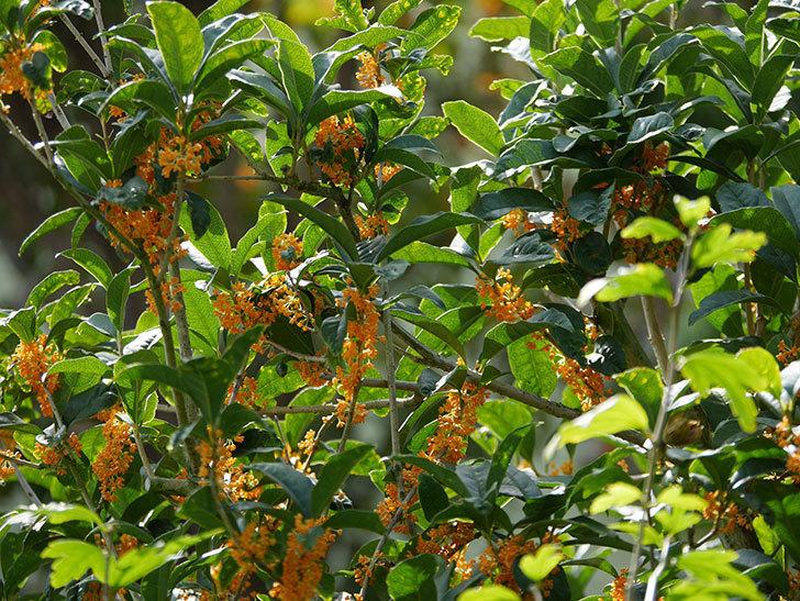 キンモクセイ(金木犀)の花が咲いた。2020年-002.jpg