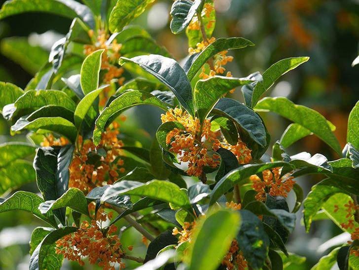 キンモクセイ(金木犀)の花が咲いた。2020年-003.jpg