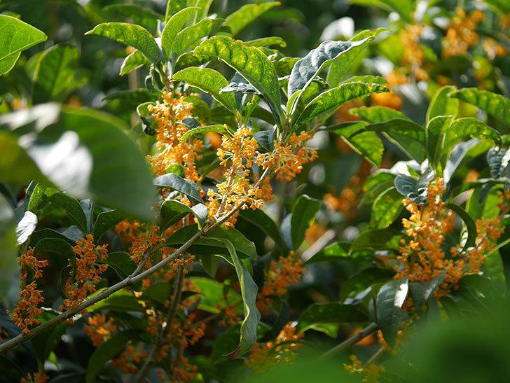 キンモクセイ(金木犀)の花が咲いた。2020年-004.jpg