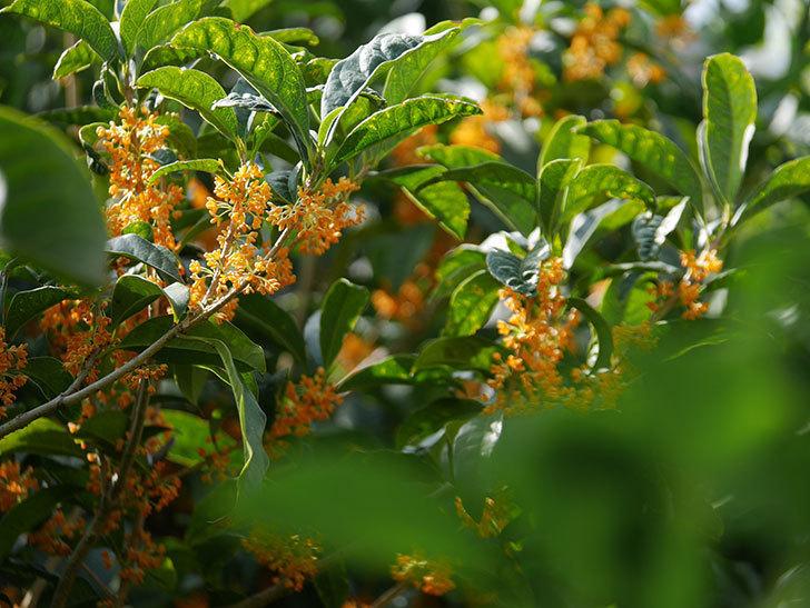 キンモクセイ(金木犀)の花が咲いた。2020年-005.jpg