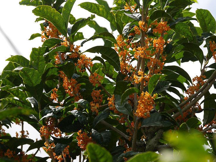 キンモクセイ(金木犀)の花が咲いた。2020年-006.jpg