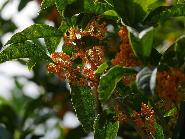 キンモクセイ(金木犀)の花が咲いた。2020年-008.jpg