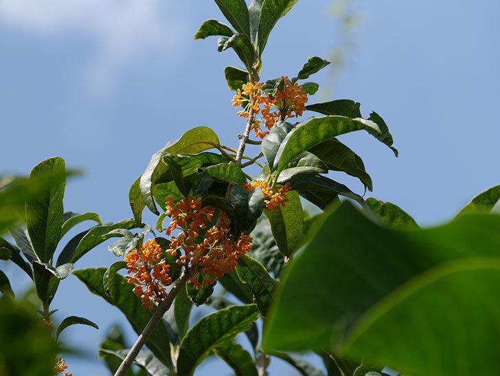 キンモクセイ(金木犀)の花が咲いた。2020年-010.jpg
