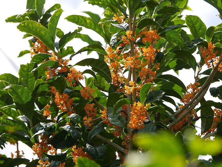 キンモクセイ(金木犀)の花が咲いた。2020年-011.jpg