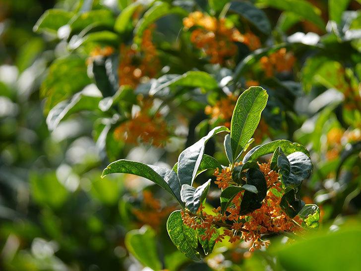 キンモクセイ(金木犀)の花が咲いた。2020年-012.jpg