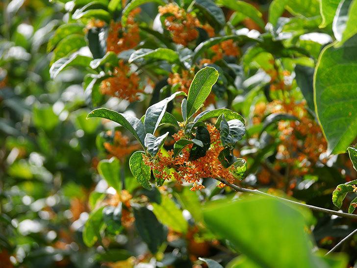 キンモクセイ(金木犀)の花が咲いた。2020年-016.jpg