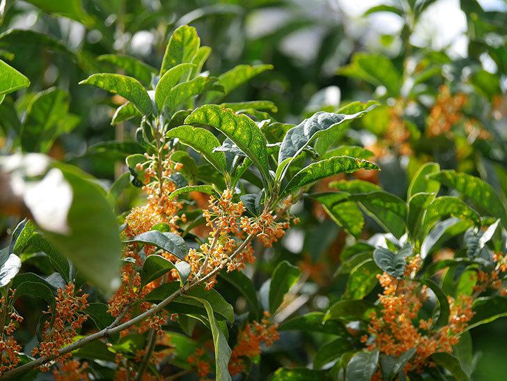 キンモクセイ(金木犀)の花が咲いた。2020年-018.jpg