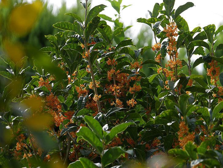 キンモクセイ(金木犀)の花が咲いた。2020年-019.jpg