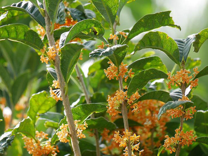 キンモクセイ(金木犀)の花が咲いた。2020年-020.jpg