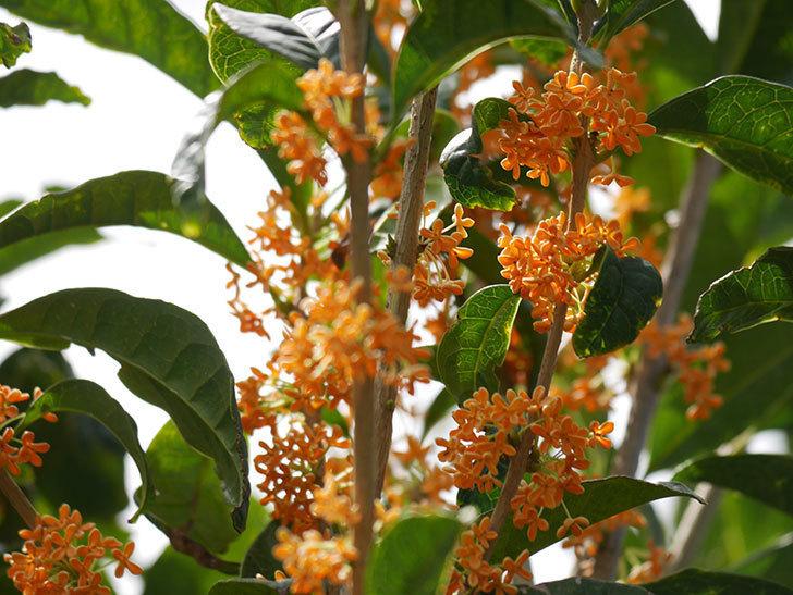 キンモクセイ(金木犀)の花が咲いた。2020年-022.jpg