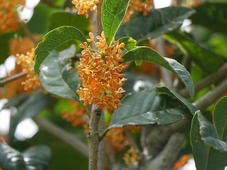 キンモクセイ(金木犀)の花が咲いた。2020年-023.jpg