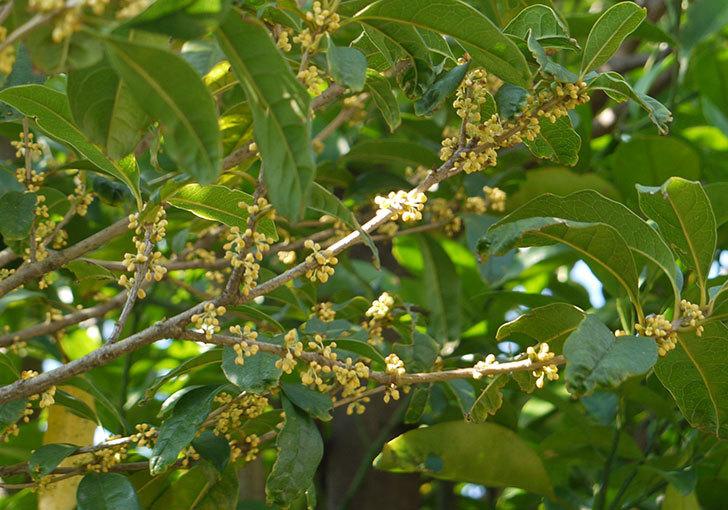 キンモクセイ(金木犀)の花が咲き始めた1.jpg