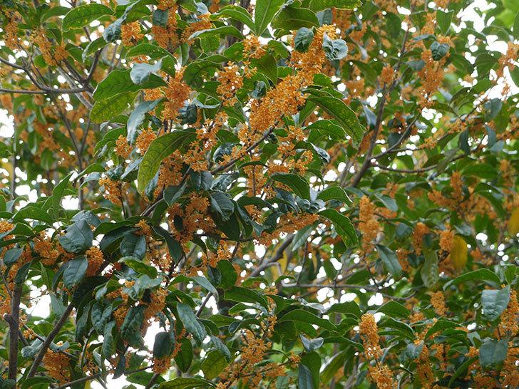 キンモクセイ(金木犀)の花が満開になった2.jpg
