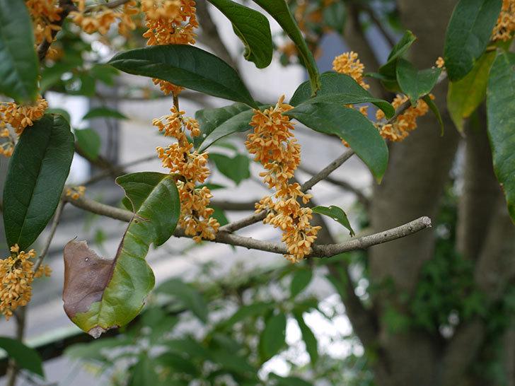 キンモクセイ(金木犀)の花が満開になった4.jpg
