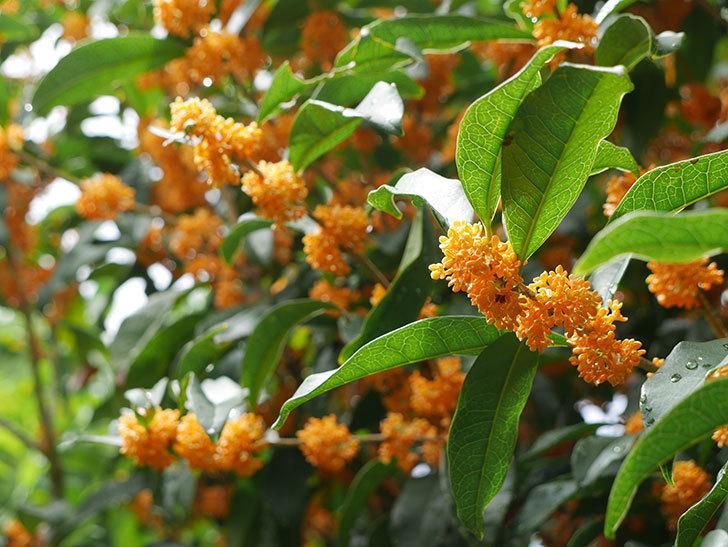 キンモクセイ(金木犀)の花が満開になった。2018年-12.jpg