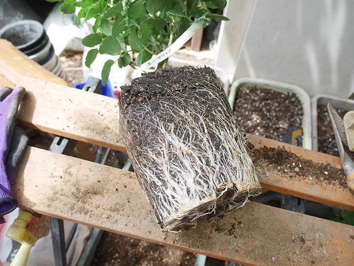 ギー・サヴォア(Guy Savoy)の大苗8号ロングスリット鉢に植え替。2021年-001.jpg
