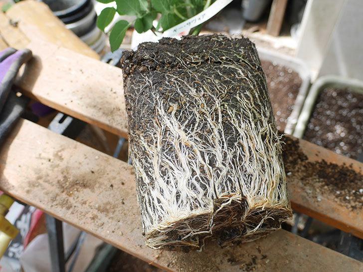 ギー・サヴォア(Guy Savoy)の大苗8号ロングスリット鉢に植え替。2021年-002.jpg