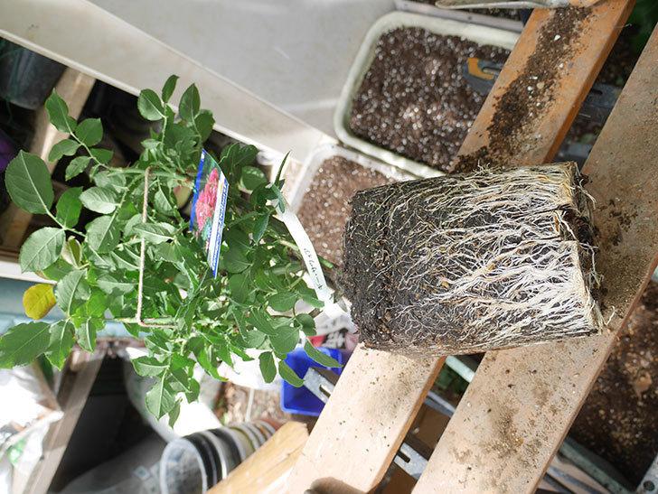 ギー・サヴォア(Guy Savoy)の大苗8号ロングスリット鉢に植え替。2021年-003.jpg