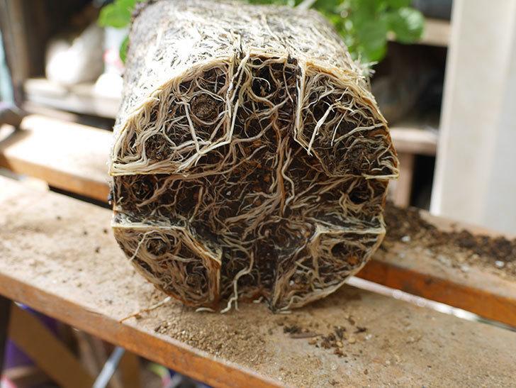ギー・サヴォア(Guy Savoy)の大苗8号ロングスリット鉢に植え替。2021年-007.jpg