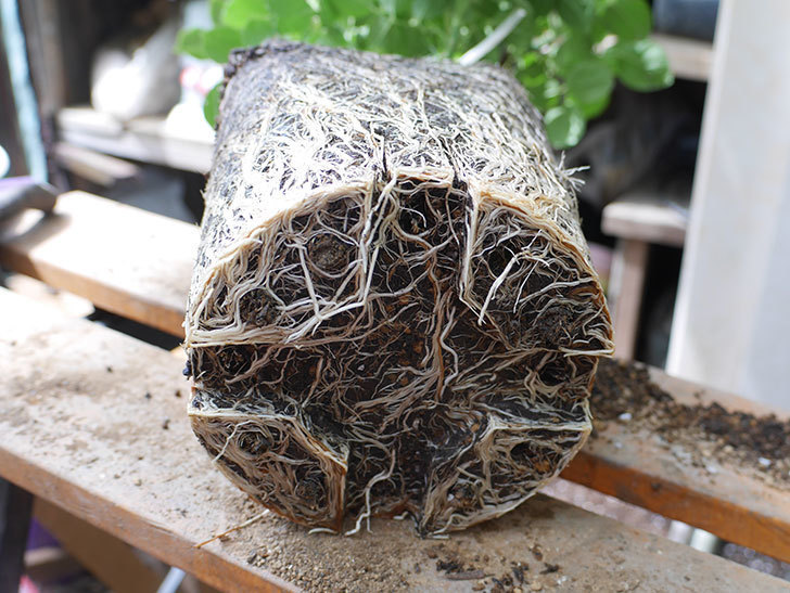 ギー・サヴォア(Guy Savoy)の大苗8号ロングスリット鉢に植え替。2021年-008.jpg