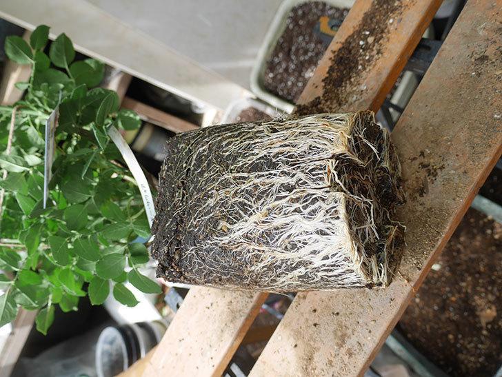 ギー・サヴォア(Guy Savoy)の大苗8号ロングスリット鉢に植え替。2021年-009.jpg