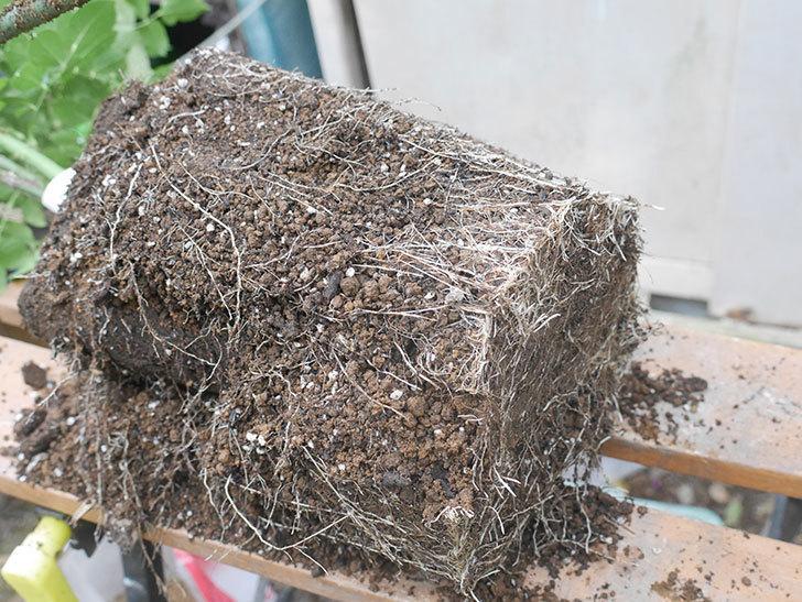 ギー・サヴォア(Guy Savoy)の大苗を懸崖鉢 10号に植え替えた。半ツルバラ。2021年-003.jpg